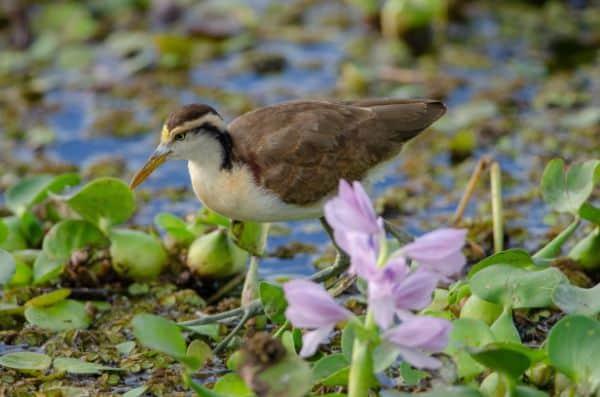 Northern Jacana Bird Species